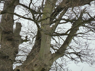 Little owl in Knebworth (P1110335) | by alg24