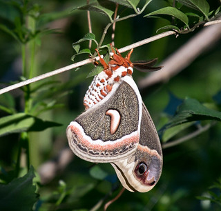 Cecropia Moth | by Laura Erickson