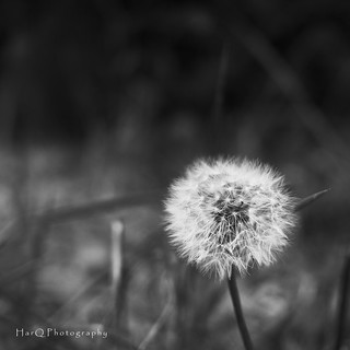 Dandelion | by HarQ Photography