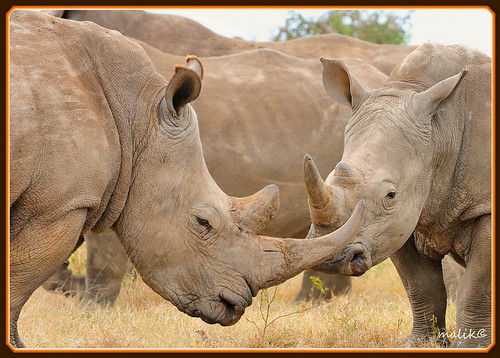 TWO WHITE RHINOS NEXT TO EACH OTHER....SOLIO RANCH....(SEPT 2010)......(136) | by M Z Malik