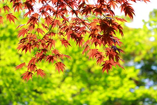 Maple leaves in spring | by ♥ Spice (^_^)