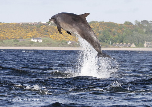 Breaching Dolphin - Chanonry point 1/06/12 | by Ally.Kemp