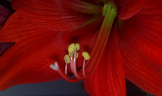 Amaryllis - naked eye view | by eagle1effi
