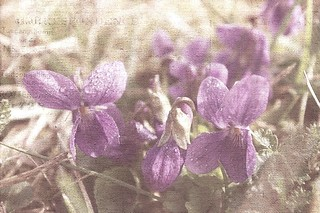 Hearts of violets | by mamietherese1