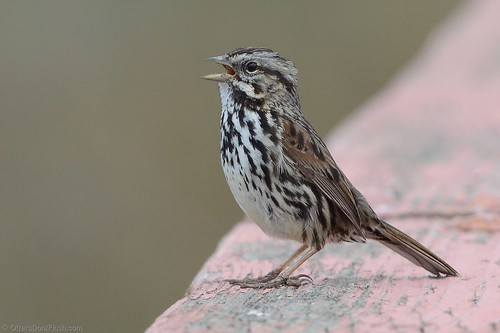 Song Sparrow Singing | by ottersdontflush