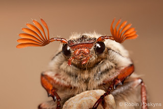Cockchafer | by [[BIOSPHERE]]