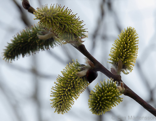 Willow -female flowers full of nectar for the hungry insects | by Fjällkantsbon