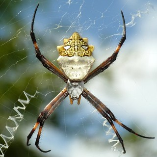 St Andrew's Cross Spider, Argiope sp. | by Ecuador Megadiverso