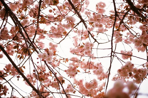 sakura | by ditao