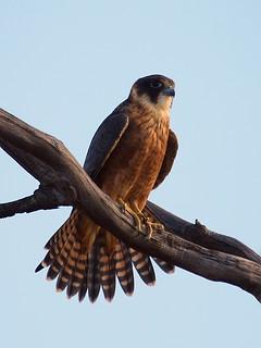 australian hobby (falco longipennis)   gluepot reserve