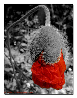 Poppin' Poppy | by Fred255 Photography