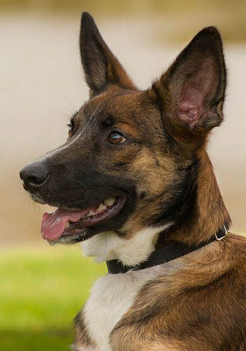LEIA | Belgian Shepherd Malinois/Cattle Dog Mix (Adopted ...