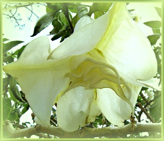 Beautiful White Trumpet! | by 'cosmicgirl1960' NEW CANON CAMERA