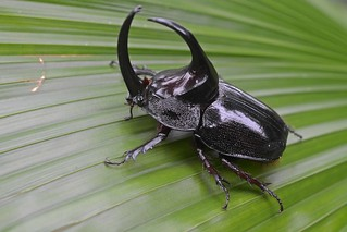 Rhinoceros beetle | by ggallice