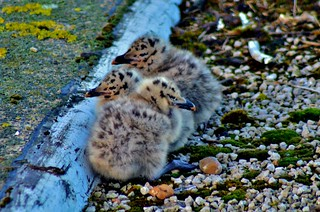 Heron Gull chicks | by TrevKerr