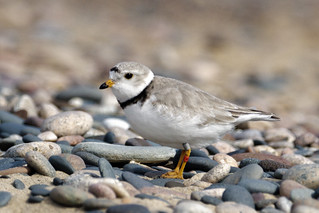 Piping Plover (Charadrius melodus) | by Bugbait of Seney