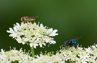 Blue bottle and hover fly | by Geographyman