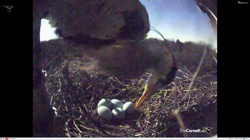 FIVE eggs! Great Blue Heron