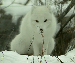 Arctic Fox | by Maia C