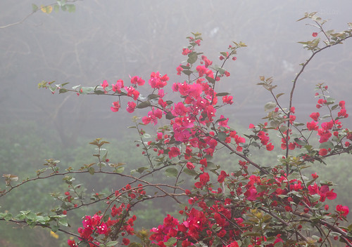 Flower ( bougainvillea )in Fog | by flopper