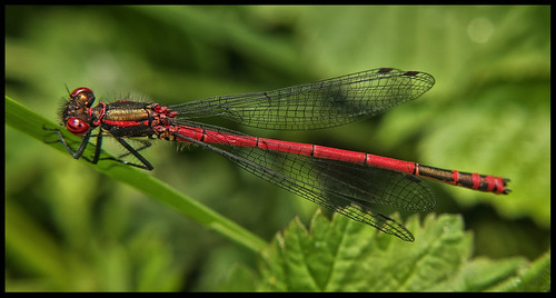 red damsel 1 | by LHG Creative Photography
