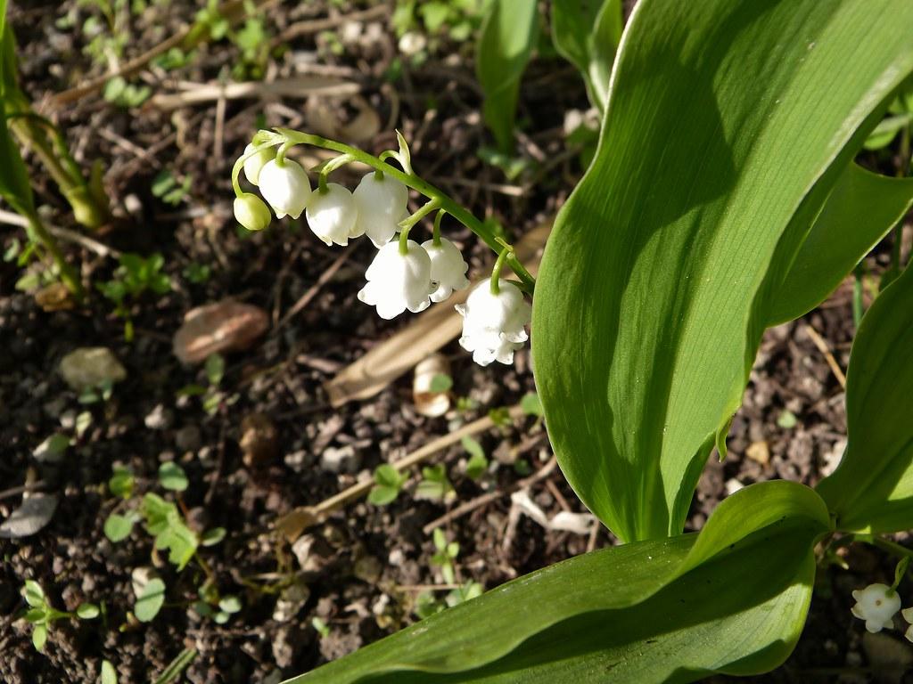 Fleur Mai 2012 Muguet Patetflo08 Flickr