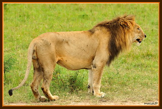 THE OLD KING OF THE JUNGLE.....MASAI MARA (OCT 2011)......(139) | by M Z Malik