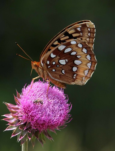 Great Spangled Fritillary (Speyeria cybele) | by AllHarts