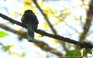 Collared Trogon - Trogon collaris - Otun, C Andes | by COLOMBIA Birding (Diego Calderon)