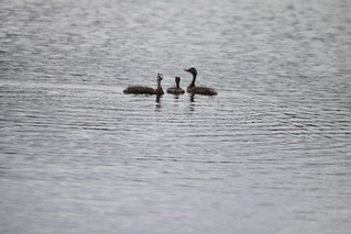 Great Crested Grebe and young | by S C photos