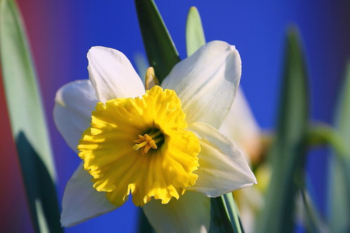Daf' or Jonquil? | by Elysium 2010