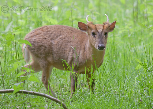 Muntjac (Muntiacus reevesi) | by M.D.Parr