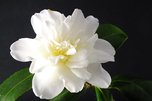 White Camellia ( A late starter ) | by Paul F Gannon