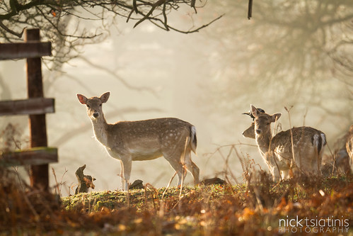 Deer | by Nick Tsiatinis