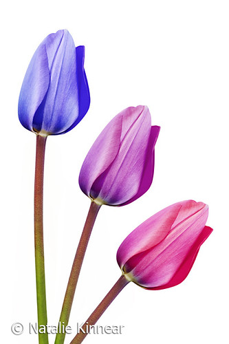 Trio of Tulips Purple Lilac Pink | by Natalie Kinnear