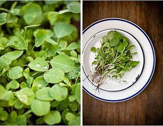 Fenugreek leaves from the garden. | by IndianSimmer