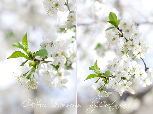 Cherries Blossoms | by Cintamani, GreenMorning.pl
