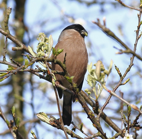Bullfinch (female) | by johno147uk