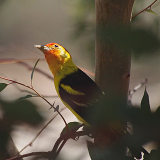 Western Tanager | by splinx1