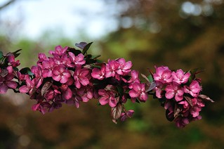 "Malus ""Indian Magic"" 