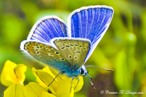 Blue Butterfly, Papillon Bleu | by Christian Picard