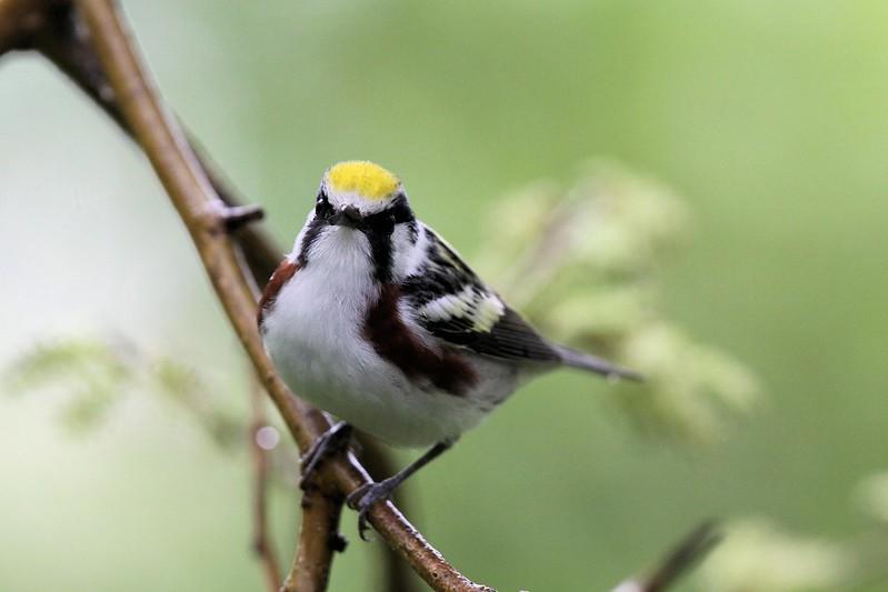 Chestnut-sided Warbler_0432