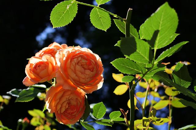 rose 薔薇 バラ