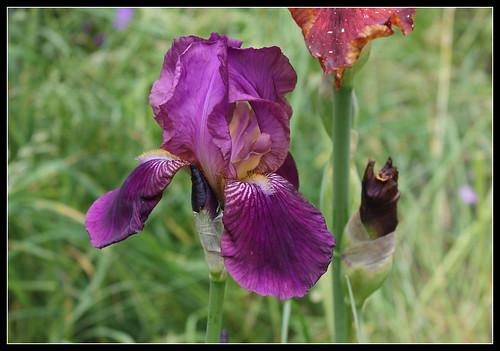 Iris 'Imperator' - Ferdinand Cayeux 1922 27445053836_7fe800ac55