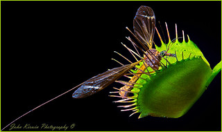 Venus Fly Trap & Insect | by kirwinj