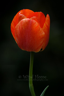 Tulip | by Wind Home