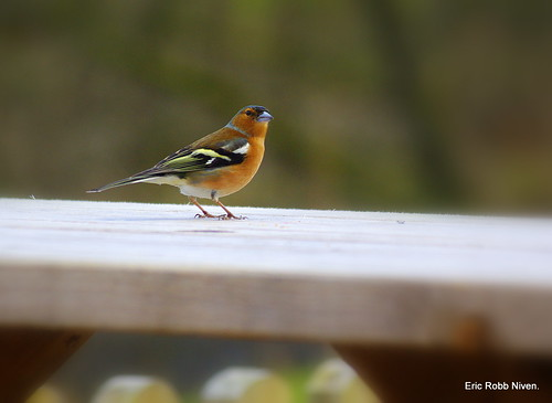 Chaffinch looking for Scones ! | by eric robb niven