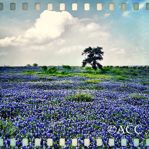 Bluebonnets! | by Allison C. Carlysle