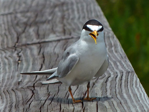 Least Tern - GreenCay - I love when these dive bombers land on the railing! | by Terri Lynn Smith