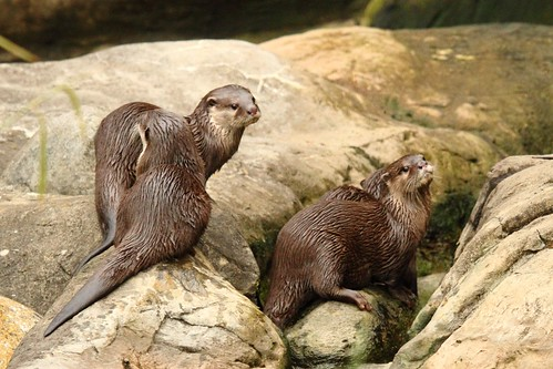 Otters at The London Wetland Centre (8) | by Richard Charles Harris Richmond